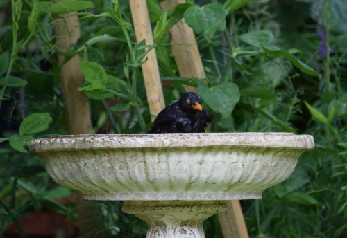 birdbathblackbird2blog