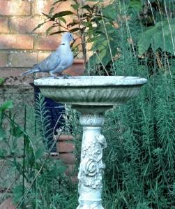 birdbathdoveblog