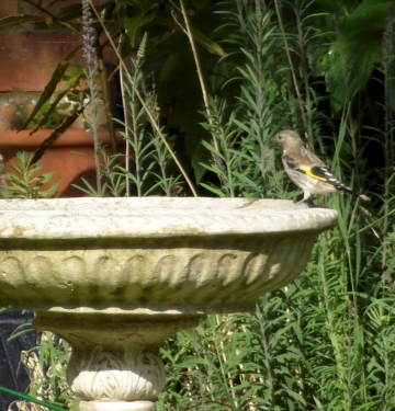 birdbathgoldfinch4blog