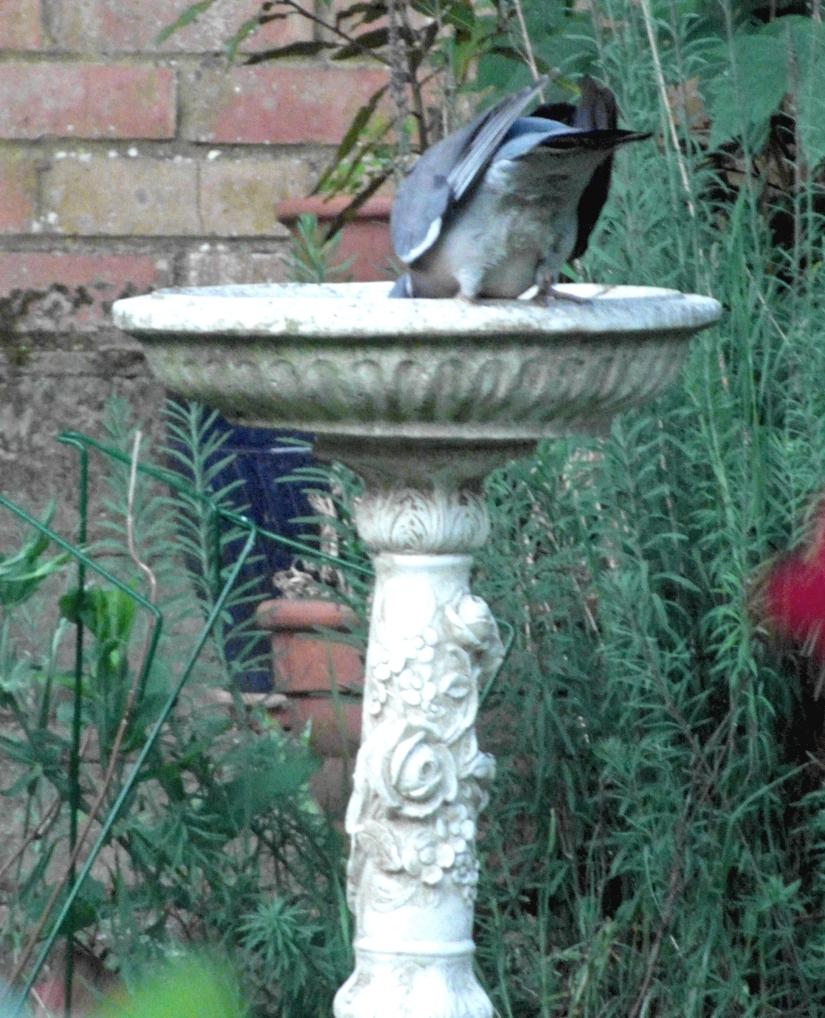 birdbathmooningpigeaoblog