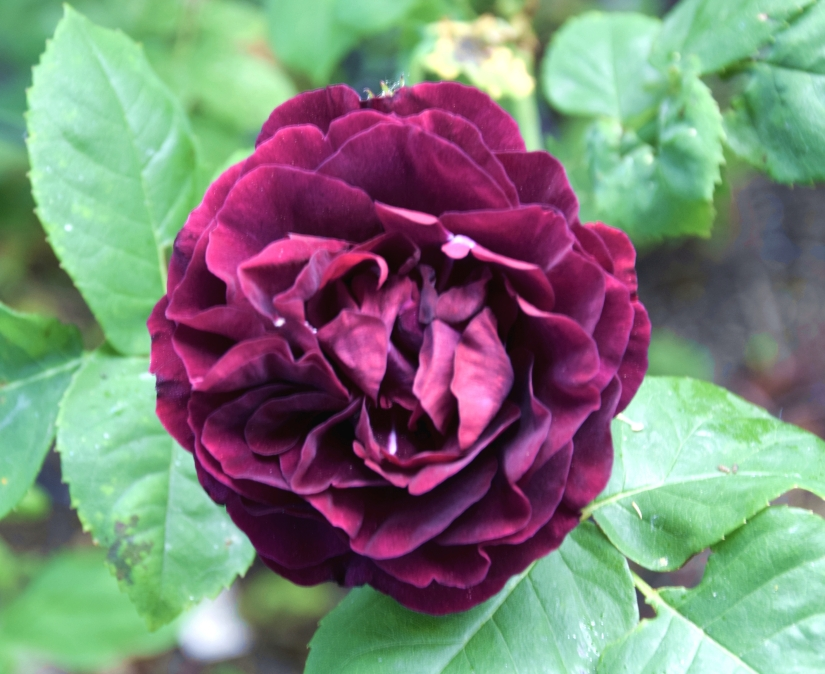 Rose 'Souvenir du Dr Jamain' - A bit high maintenance for my kind of gardening but it makes me so happy that I give it the extra attention it requires. I also love the mysterious name... who was Dr Jamain?