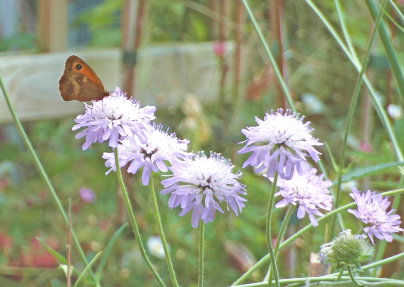 butterflyscabious