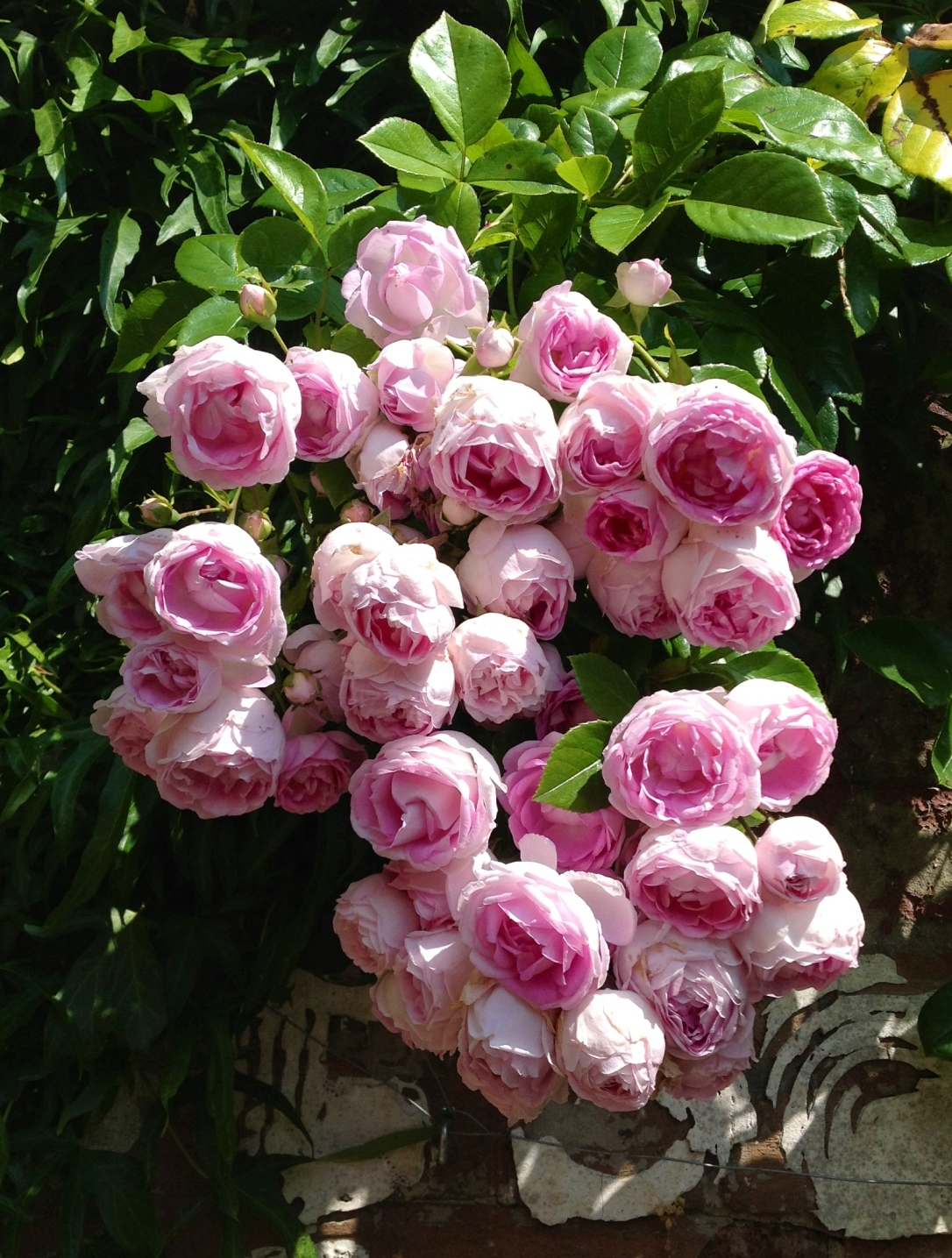 rosajasmina