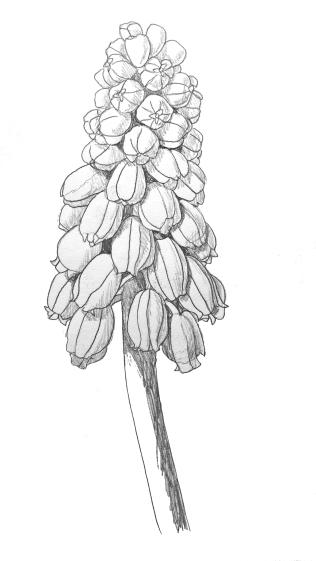 muscaridrawing