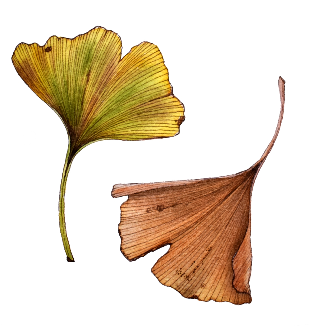 ginkgosepia+wash small