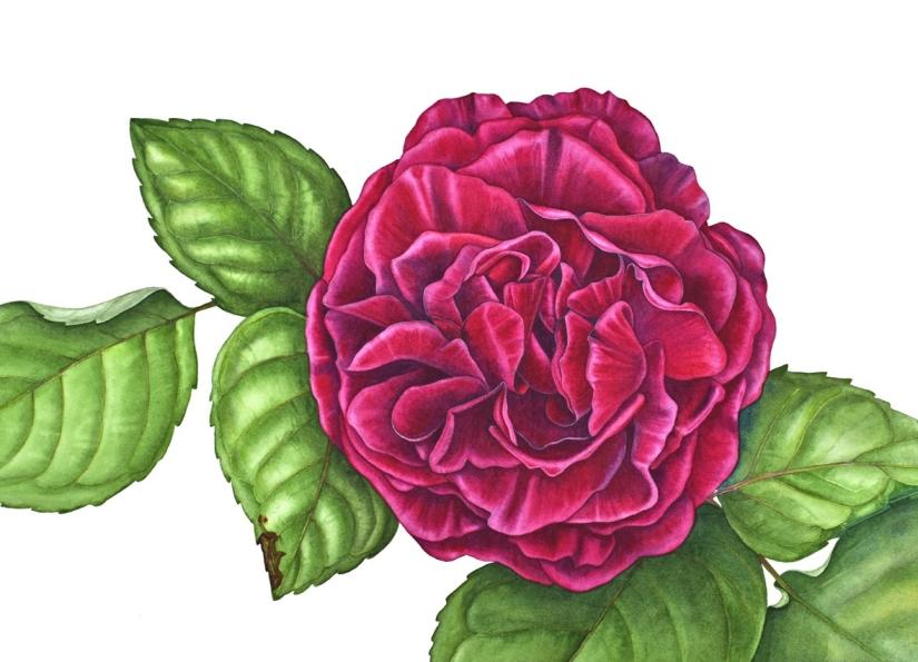 blog Rose souvenir Jamain small