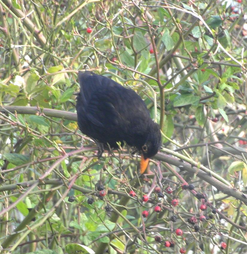 Blog honeysuckle blackbird
